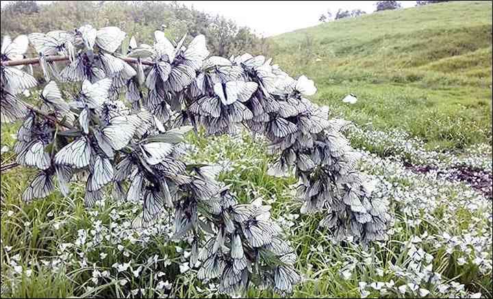 西伯利亚现罕见成群黑白蝴蝶